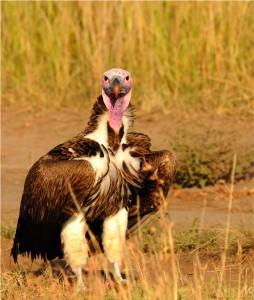 Lappet-faced vulture by Munir Virani
