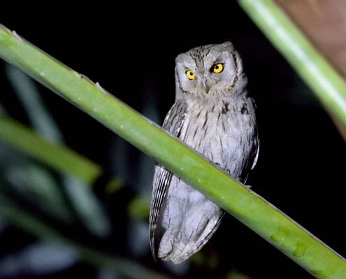 Scops Owl_Ori