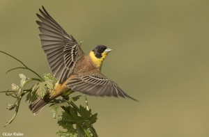black headed bunting tel fares22