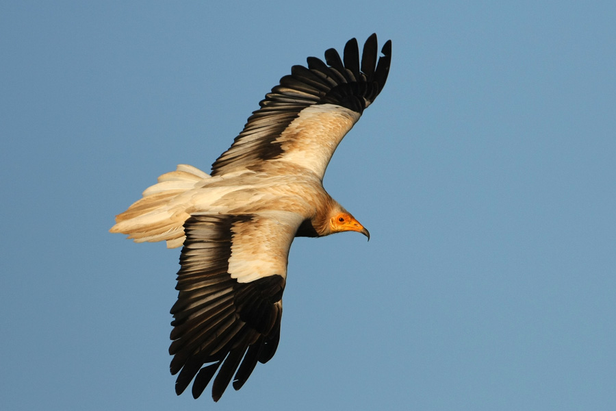 egyptian-vulture-pictures_1