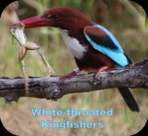 chmpions logo kingfishers